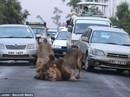 Sư tử thoát khỏi vườn quốc gia, vồ người đi đường