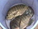 Yêu cầu đính chính thông tin nuôi cá rô phi bằng... thuốc trừ sâu