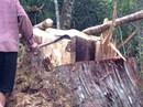 Lâm tặc triệt hạ 30 cây pơ mu hàng trăm năm tuổi ở Quảng Nam