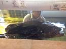 Cá mú nghệ nặng gần 100kg bán ở Sài Gòn