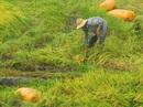 Hết hạn mặn đến mưa dầm, nông dân miền Tây điêu đứng