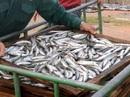 """Đề nghị tiêu hủy cá nục nhiễm """"chất độc"""" Phenol là vội vàng"""