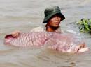 """Chuyện ly kỳ về """"ông"""" cá hô trên dòng Vàm Nao"""