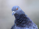 Chim bồ câu đưa thư đe dọa Thủ tướng Ấn Độ bị bắt giam