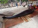 """Cá voi """"khủng"""" kiệt sức, dạt bờ biển Bình Định"""