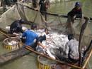Tôm và cá tra tăng giá, nông dân không còn để bán