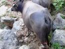 Bắt nghi phạm vụ đàn trâu bị chém chết la liệt giữa rừng