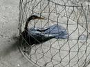 Dân Sài Gòn bắt được chim cổ rắn, tặng ngay Thảo Cầm Viên