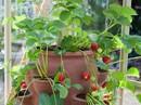 Cơn sốt trồng dâu tây trong chậu tại nhà