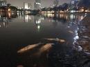 Cá hồ Hoàng Cầu lại chết bất thường hàng loạt