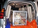 """Phát hiện """"chúa sơn lâm"""" còn sống nặng 300 kg trên xe Lexus"""