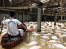 Xót xa nhìn gần 4.000 con lợn chết nổi trắng trong mưa lũ