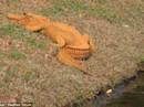 Cá sấu độc màu cam gây sốt