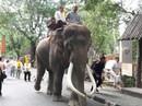 Thái Lan: Chú voi nổi tiếng lên cơn điên siết chết chủ