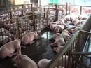 Đề nghị công an vào cuộc vụ 3.750 con heo bị tiêm thuốc an thần