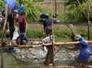 Tính kế bền vững cho cá tra: Luẩn quẩn nuôi - bỏ, bỏ - nuôi