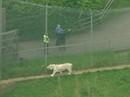 Nhân viên sở thú bị hổ vồ chết