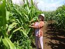 Nhập khẩu hơn 8 triệu tấn bắp làm thức ăn chăn nuôi