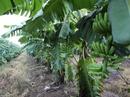 HAGL đang trồng gì, thu hoạch và bán ra sao?