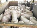 Trộn hoá chất trong thức ăn chăn nuôi: Làm ăn gian dối, coi thường sức khoẻ người dùng