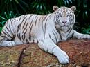 Hổ trắng quý hiếm vồ chết nhân viên vườn quốc gia
