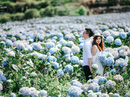 Cánh đồng hoa cẩm tú cầu đẹp mê hồn ở Đà Lạt