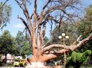 Bất lực nhìn cây di sản chết dần