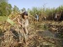 Lũ và triều cường đang đe dọa ruộng mía ở ĐBSCL
