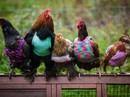 Những chuyện vui vô đối về gà