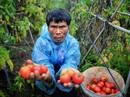 """Cà chua tại vườn """"rẻ như cho"""", ra chợ đắt gấp 10"""