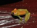 Phát hiện loài ếch phát sáng đầu tiên trên thế giới