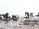 Sướng với mùa săn chem chép biển ở miền Tây