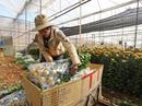 Hoa cúc Đà Lạt bất ngờ tăng giá