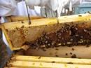 Hiểm hoạ khôn lường từ mật ong giả
