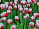 Lạc lối giữa ngàn hoa Tulip tại Vinpearl Land Nha Trang