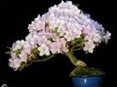 Mê mẩn những chậu bonsai để bàn đẹp hút mắt