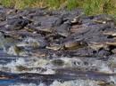 Choáng với đàn cá sấu hàng trăm con trong công viên