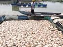 Hơn 80 tấn cá chết trắng trên sông Cổ Cò