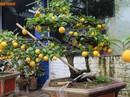 Bonsai chanh Úc vàng ươm lần đầu xuất hiện ở Hà Nội