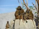 Vườn thú phong tỏa khẩn cấp vì 52 con khỉ đầu chó sổng chuồng
