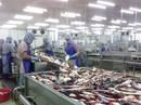 Cá tra nguyên liệu và cá giống khan hiếm