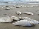 Truy tìm nguyên nhân cá chết đầy biển Đà Nẵng
