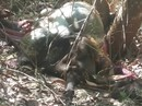 Đồng Nai: Bò tót nặng 700kg chết trong rừng là do.. ôtô tông