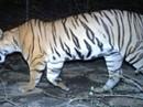 """Ấn Độ: Tranh cãi vụ bắn chết """"hổ ăn thịt 12 người"""""""