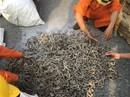 500 kg cá ngựa khô được giấu trong da cừu