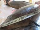 """Cá chình, lăng """"cực khủng"""" ở thượng nguồn sông Lam"""