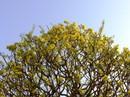 """""""Hoa mắt"""" trước cây mai vàng hình nấm được cắt tỉa gần 40 năm"""
