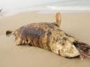 """Phát hiện 3 xác cá """"thiêng"""" chết và dạt cùng lúc vào biển Quảng Bình"""