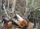 Rừng bị phá, các ngành đổ lỗi cho nhau