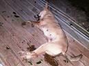 Trộm xong 4 con chó, 2 tên trộm gặp tai nạn bất tỉnh